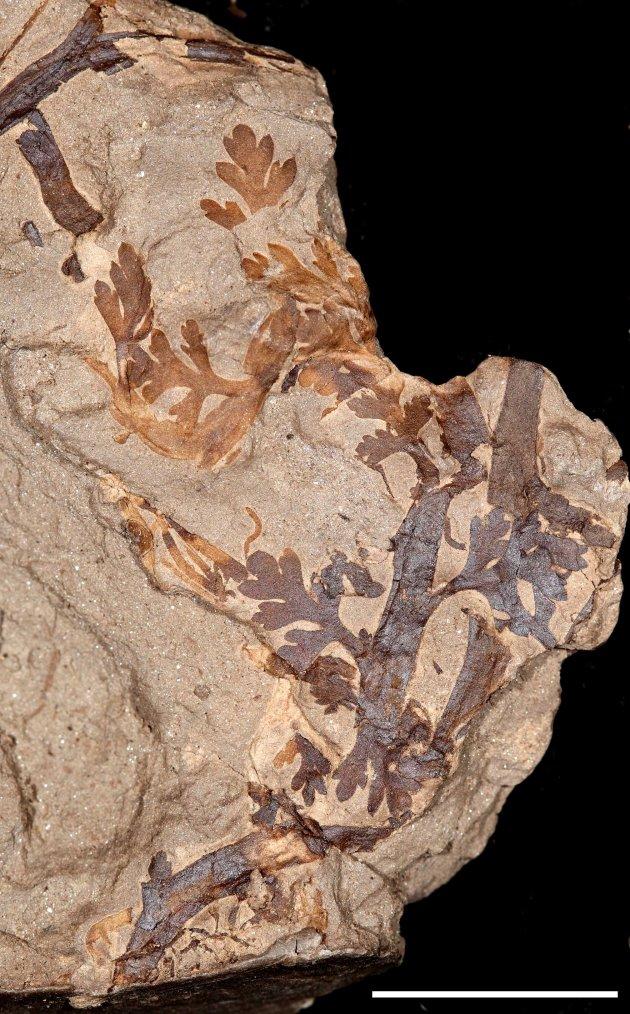 Fairlingtonia 1cm